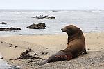 California sea lion with shark bite. Harbor seals in distance. Fitzgerald Marine Reserve