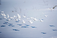 Willow ptarmigan in winter white phase, Arctic, Alaska.