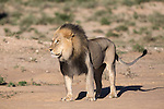 Lion (Panthera leo), Kgalagadi Transfrontier Park, Northern Cape, South Africa, February 2016