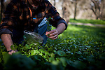 Hank Shaw forages for miner's lettuce in Orangevale, California, February 22, 2013.