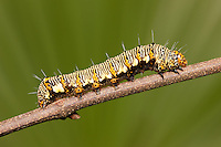 An Eight-spotted Forester Moth (Alypia octomaculata) caterpillar (larva) perches on a twig in Ocala National Forest, Florida.