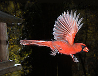 Male Northern Cardinal (Cardinalis cardinalis) in flight.