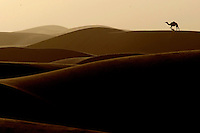 A camel walks through the sand dunes in the desert near Nisab, Abu Dhabi, as the sunsets. Photo By Andrew Parsons/ParsonsMedia