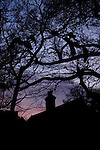 Peacocks roosting high in the trees against the silhouette of a cottage