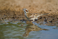 578810038 a wild lark sparrow chondested grammacus drinks at the edge of a small pond on dos venadas ranch starr county rio grande valley texas
