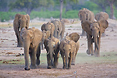 Thirst African Elephants pick up the pace as they get closer to water. Breaking out into a run as thier excitment increases. Waterholes are a social place for elephants, as well as quenching thier thirst, and cooling off, and coating themselves in mud.