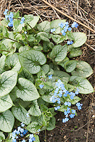 Brunnera macrophylla 'Jack Frost'  in bloom
