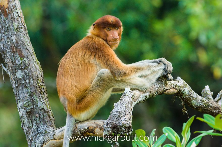 Young male Proboscis Monkey (Nasalis larvatus) resting in mangroves. Bako National Park, Sarawak, Borneo.