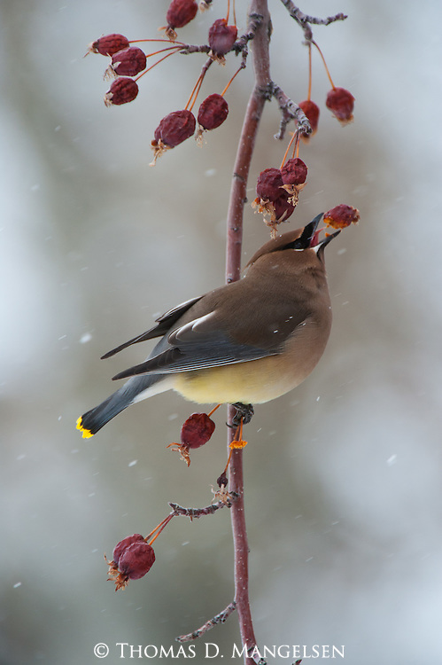 A cedar waxwing perches in a Mountain Ash tree with a shriveled berry.