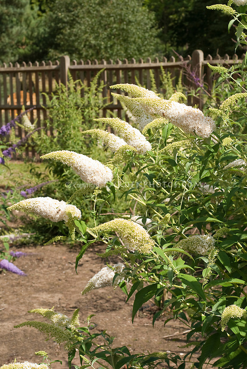Butterfly Bush Buddleja davidii 'White Wings'