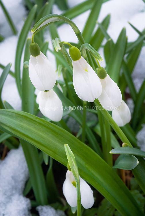 Galanthus 'Comet' snowdrops in winter snow flower
