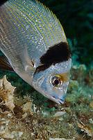 Two-banded Seabream (Diplodus vulgaris)<br /> France: Corsica, Lavezzi Archipelago, Passage du Cavallo, 'Turtle Rock'