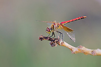 362700019 a wild male band-winged meadowhawk dragonfly  sympetrum semicintum perches on a dead stick along jean leblanc canal north of bishop mono county califorina united states