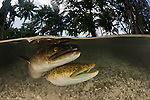 Giant mottled fresh water eels (Anguilla marmorata)  split level in the shallows