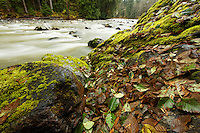Autumn leaves on boulders, South Fork Stillaguamish River, Mountain Loop Highway, Snohomish County, Washington Cascade Mountains