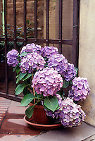 FLOWERING TREES AND SHRUBS<br /> Blue Hydrangea In Acidic Soil<br /> Hydrangeas flower color varies according to the soil's pH