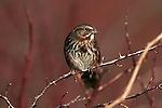 Song sparrow, Washington
