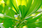 Naupaka kahakai is a half flower found near the beach which in Hawaiian legend represents the parting of two lovers. Another species of the same plant is found in the mountains.
