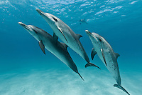 RW4614-D. Atlantic Spotted Dolphins (Stenella frontalis). Grows to 7.5 feet in length and 300 pounds, feeds at night on flying fish and squid. Bahamas, Atlantic Ocean.<br /> Photo Copyright &copy; Brandon Cole. All rights reserved worldwide.  www.brandoncole.com