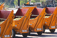 Grape delivery with tractors and containers. Raimat Costers del Segre Catalonia Spain