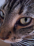 a macro head shot of a tabby cat