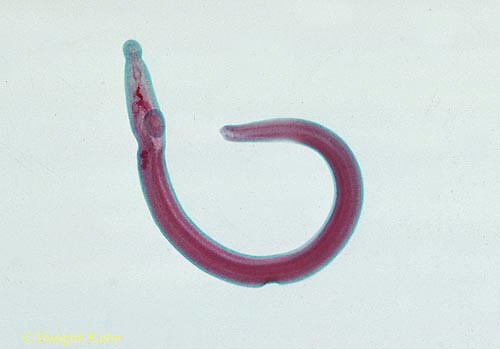 1Y01-016x  Blood Fluke - Trematode parasite/human - Platyhelminthes - Flatworm - Schistosoma haematobium - male