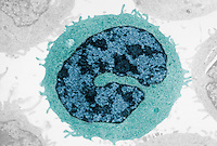 Cross-section of a human T lymphocyte type of a white blood cell or leukocyte showing the large nucleus. TEM X14,000.