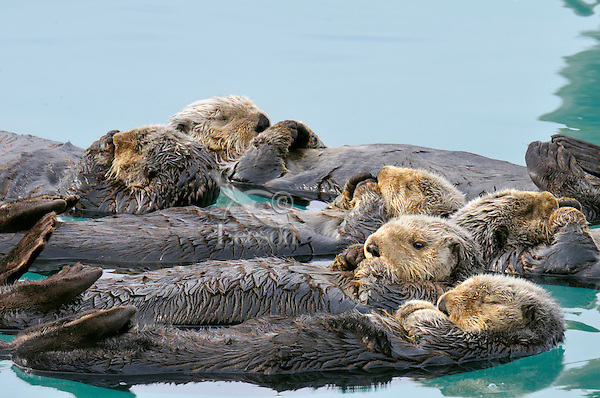 "Alaskan or Northern Sea Otters (Enhydra lutris) resting in a raft.  Sea otters often rest together in groups. This is called ""rafting.""  Alaska"