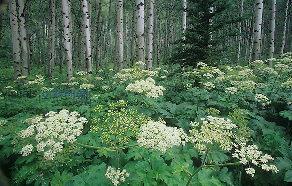 Cow Parsnip ,Heracleum lanatum, wildflowers in a meadow in front of an Aspen grove, Umbelliferae, North America.