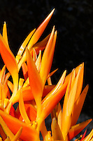 A cluster of orange heliconia, O'ahu.