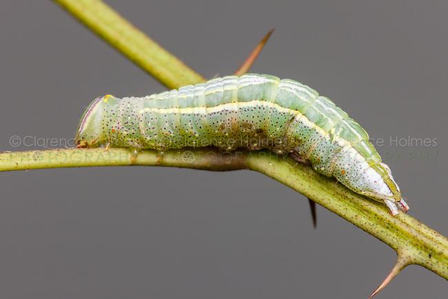 Saddle Prominent (Heterocampa guttivitta) caterpillar (larva)