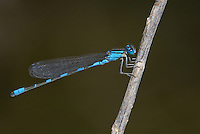 320260003 a wild northern bluet enallagma annexum perch on a dead stick along piru creek frenchmans flat los angeles county california united states
