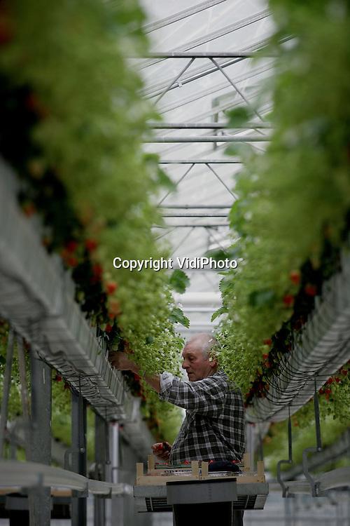 Foto: VidiPhoto..DOORNENBURG - De Hollandse aardbeien zijn er weer. Vanaf eind deze week liggen ze in de supermarkten. Aardbeienteler Arno de Beijer in Doornenburg is begonnen met de oogst. Hoewel de Nederlandse aardbeienproductie ieder jaar fors stijgt, verwacht De Beijer dit jaar toch goede prijzen. Uit onderzoek van adviesbureau Lucel uit Naaldwijk blijkt namelijk dat aardbeien vol zitten met gezonde anti-oxidanten die het afweersysteem van het lichaam verbeteren.