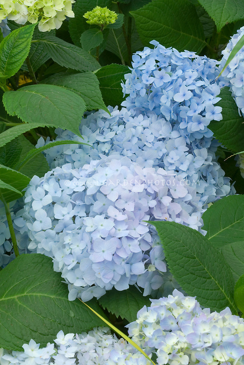 Blue Hydrangea macrophylla Endless Summer in flower clusters