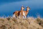 Guanaco, Torres Del Paine National Park, Chile