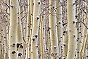 Aspen trees in winter; Hart Mountain National Antelope Refuge, Oregon.