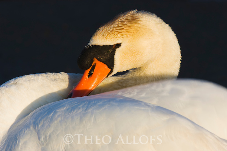 Mute Swan (Cygnus olor), close-up,  Camargue, France