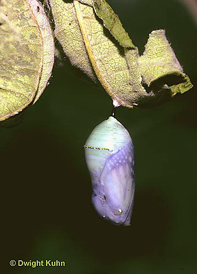 MO03-003a   Monarch Butterfly - developing chrysalis - Danaus plexippus