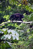 Mantled Howler Monkeys (Alouatta palliata) Tabacon Hot Spring Resort and Spa, Costa Rica