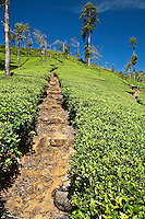 Path used by tea pickers wends its way upwards through the tea plantation. (Photo by Matt Considine - Images of Asia Collection)