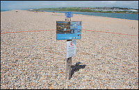 BNPS.co.uk (01202 558833)<br /> Pic: PhilYeomans/BNPS<br /> <br /> Keep out - Exclusion zone around the endagered Little tern colony.<br /> <br /> Terned out nice again...<br /> <br /> Enterprising RSPB warden John Dadds has come to the rescue of one of Britains most exposed colonies of Little terns - thanks to an inspirational trip to a DIY store and a &pound;1.75 hanging basket liner.<br /> <br /> Dadds study of the tiny colony on Chesil beach in Dorset last year had revealed that many of the birds eggs were failing to hatch, and he realised that the wind whistling through the gaps in the pebbles was cooling the eggs down to a critical level.<br /> <br /> After a visit to his local Wilkinson's and armed with a bucket of sand and 12 hanging basket liners, Dadds set to work this year to provide a more draught proof nest for the returning birds. <br /> <br /> So far 21 pairs have taken up the nests and Dadds is mounting a round the clock watch over them to see if his plan has worked.