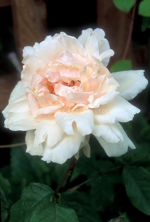 Rose Madame Alfred Carriere old fashioned noisette climber