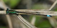Rambur's Forktail (Ishnura Ramburii) Damselfly - Male, Oscar Scherer State Park, Osprey, Sarasota County, Florida