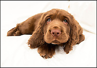 BNPS.co.uk (01202 558833)<br /> Pic: PhilYeomans/BNPS<br /> <br /> Van Bennett's Sussex Spaniel puppy Beryl.<br /> <br /> Whisper it quietly...but this puppy could be a lifeline for one of Britains rarest native dog breeds.Only 49 Sussex Spaniels were registered last year with the kennel club - making the ancient British breed rarer than White Rhino's, Tigers or even Giant Panda's. <br /> <br /> Plucky British dog breeds like these adorable Skye Terriers, Sussex Spaniels and Otterhounds are more endangered than the Giant Panda due to the modern infatuation with fashionable crossbreeds and foreign invaders.<br /> <br /> The unprecedented rise in popularity of 'handbag dogs' has put many traditional breeds on the brink of extinction. <br /> <br /> The bottom three in last years KC figures are Skye Terriers(28), Otterhounds(40) and Sussex Spaniels(49) making these adorable puppies a vital lifeline for their historic breeds - by contrast over 20,000 French Bulldog's were registered in 2016.