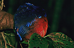 A garnet pitta, Pitta granatina, sleeps with fluffed feathers..Danum Valley Conservation Area, Borneo Island.