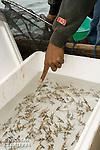 Pterapogon kauderni venant d'&ecirc;tre p&eacute;ch&eacute;s pour l'aquariophilie.<br /> <br /> Poisson cardinal des iles Banggais, Pterapogon kauderni. End&eacute;mique des &Icirc;les Banggais, ce poisson poss&egrave;de une aire de r&eacute;partition tr&egrave;s limit&eacute;e pour un poisson marin. Depuis quelques ann&eacute;es, il subit une forte pression de la p&ecirc;che pour le commerce de l'aquariophilie (plusieurs milliers de poissons sont captur&eacute;s chaque mois) ce qui a conduit cette esp&egrave;ce en 2007 a &ecirc;tre class&eacute;e dans la cat&eacute;gorie Endangered sur la liste rouge de l'UICN. village de Bonebaru sur l'ile Banggai au Sulawesi en Indon&eacute;sie - Mission Banggai Cardinal Fish, Mai 2008, Act for Nature - Musee oceanographique de Monaco