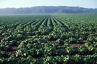 Soybean Crop in Southwestern Ontario Field