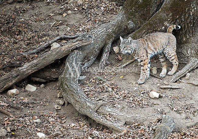 A bobcat scent marks a tree in Pinnacles National Park.