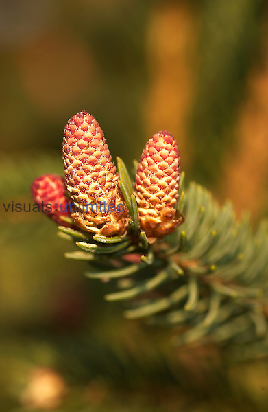 Male cone of spruce, ,Picea sp.,.