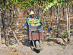 Tabernero Winery & Vineyards, Valley Of Chincha, Ica Province